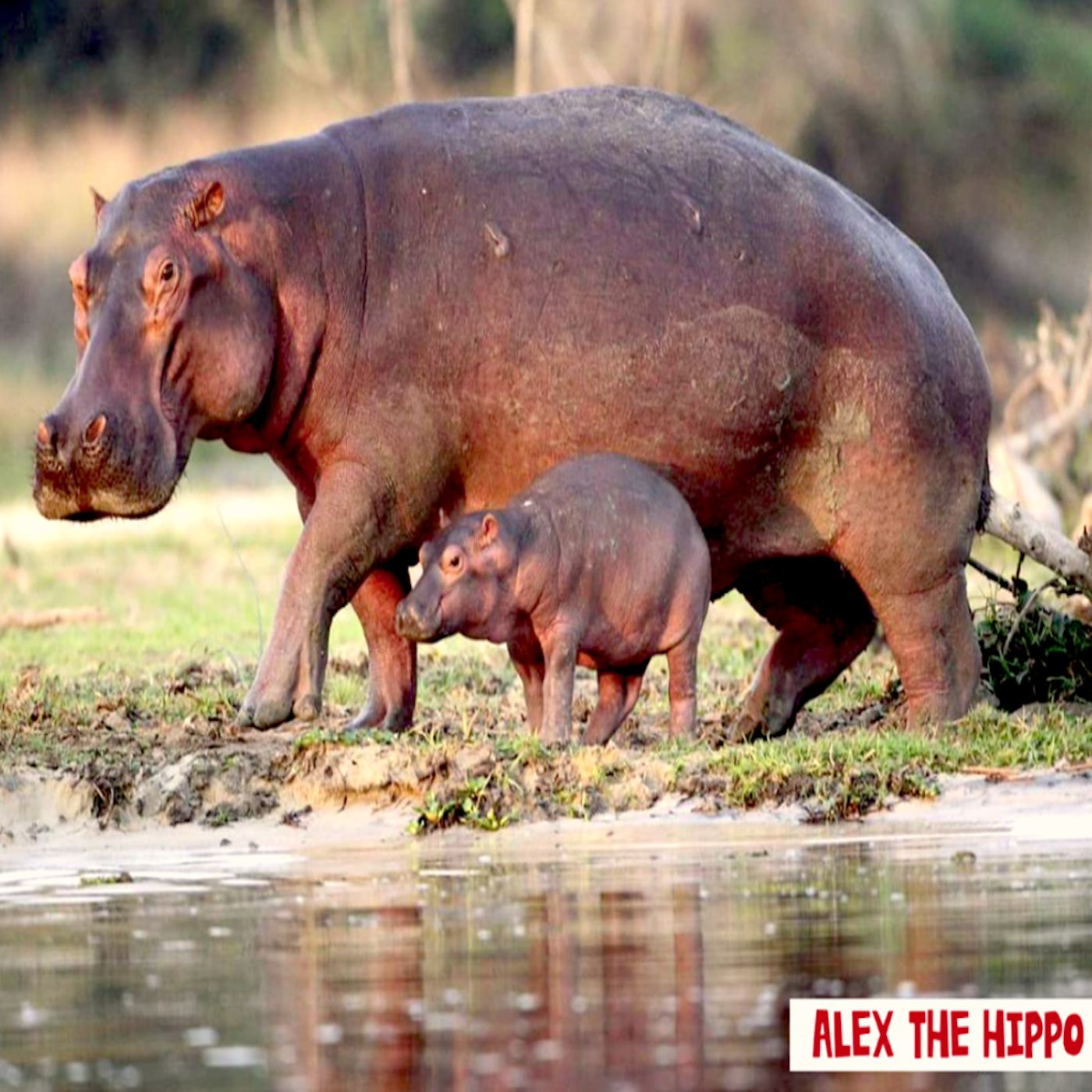 Mothers influence on her young hippo